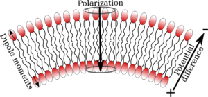 The concept of Flexoelectricity. Dipoles pointing in opposite directions in lipid leaflets lead to curvature, when an electrical potential is applied across the membrane. See http://pubs.acs.org/doi/abs/10.1021/acs.jpcb.6b03439