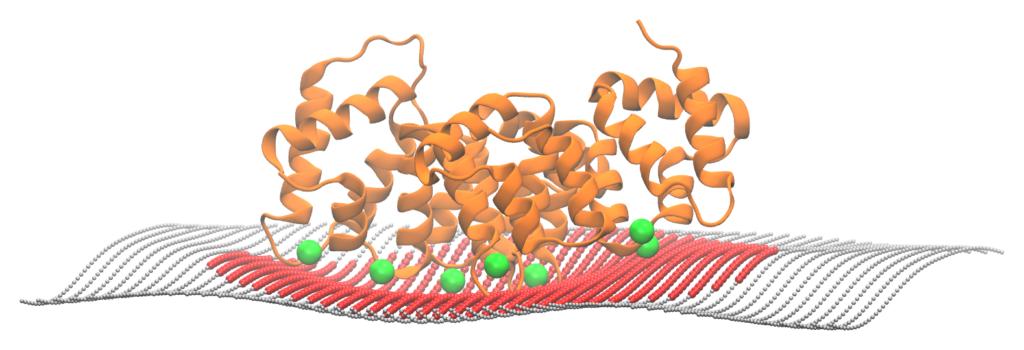 Annexin on a membrane